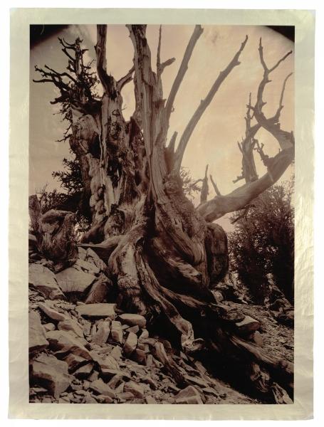 "Cousin of Methuselah, Bristlecone pine, near Bishop, California, c. 4,700 years old 46 x 34"""