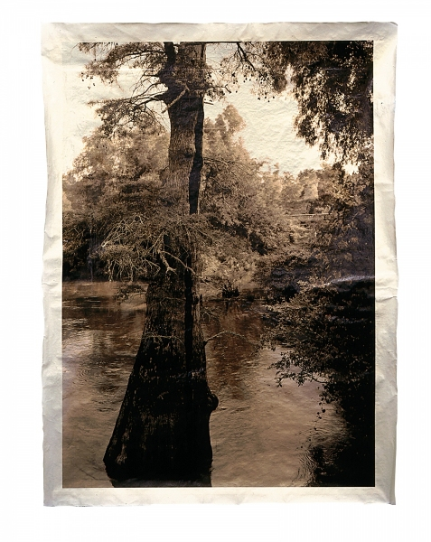"Bald Cypress, Bayou de View, Arkansas, 800-1,000 years old 46 x 34"""