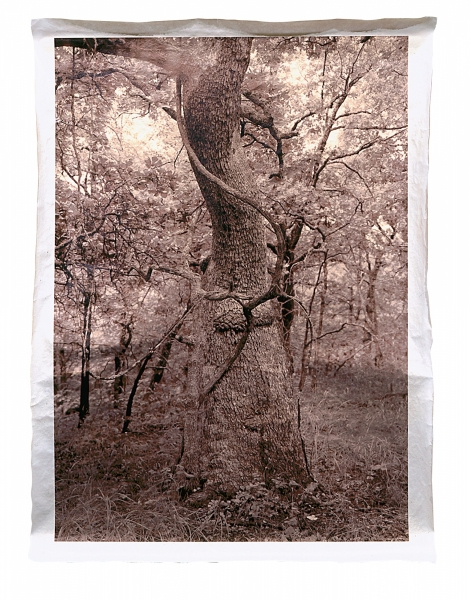 Post Oak, S. Osage County, Oklahoma, 300-500 years old  46 x 34""